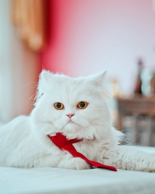 Persian White Cat Wallpaper for Nokia C1-01
