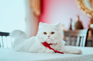 Persian White Cat Wallpaper for 480x400