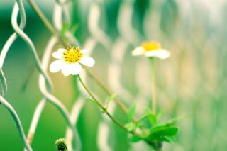 Kostenloses Macro flowers and Fence Wallpaper für Android, iPhone und iPad
