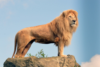 Lion in Gir National Park Wallpaper for Android, iPhone and iPad