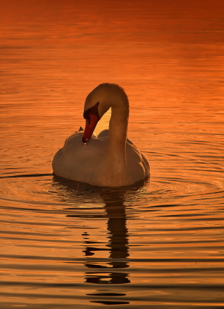 White Swan At Golden Sunset - Fondos de pantalla gratis para 640x960