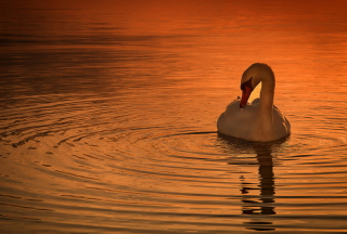 White Swan At Golden Sunset Background for Android, iPhone and iPad