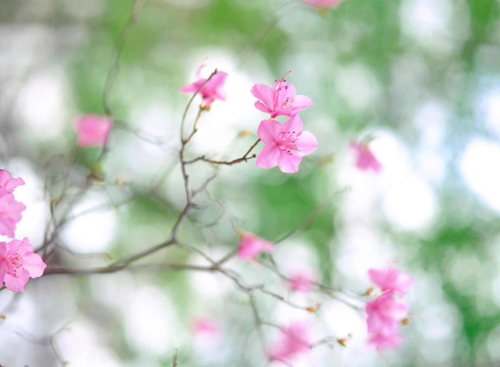 цветение весна розовые цветы загрузить