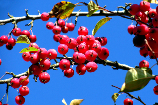 Free Red Berries Picture for Android, iPhone and iPad