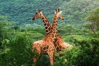 Giraffes in The Zambezi Valley, Zambia Background for Android, iPhone and iPad