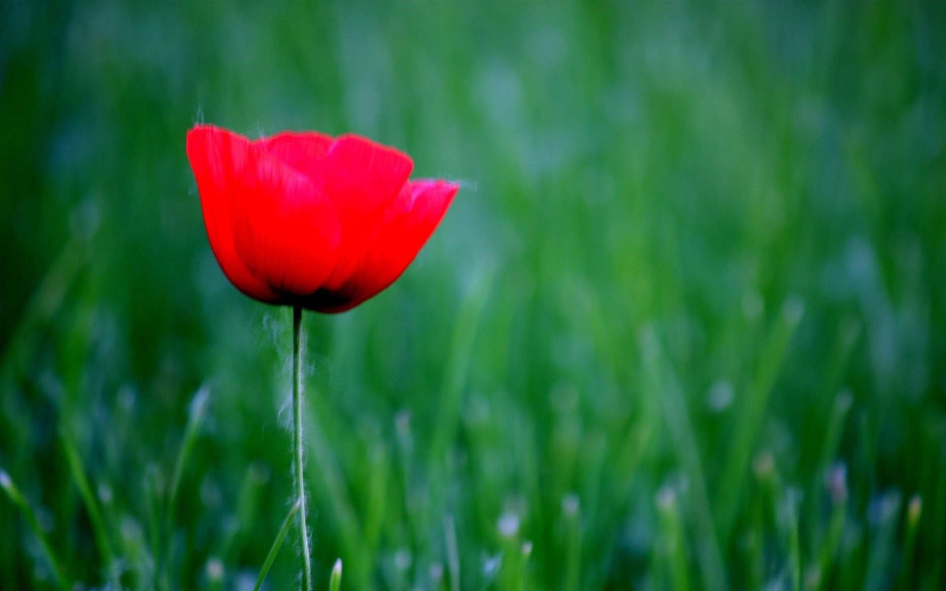 Screenshot №1 pro téma Red Poppy Flower And Green Field Of Grass 1920x1200