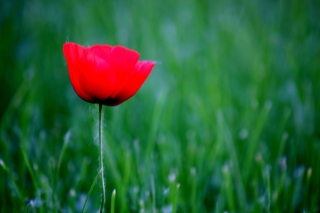 Red Poppy Flower And Green Field Of Grass - Obrázkek zdarma pro Widescreen Desktop PC 1920x1080 Full HD