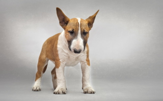 Bull Terrier Wallpaper for Android, iPhone and iPad