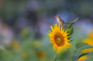 Free Sunflower Sparrow Picture for Android, iPhone and iPad