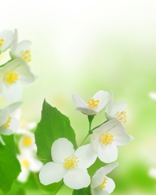Jasmine delicate flower sfondi gratuiti per iPhone 6 Plus