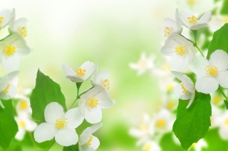 Jasmine delicate flower Background for Android, iPhone and iPad