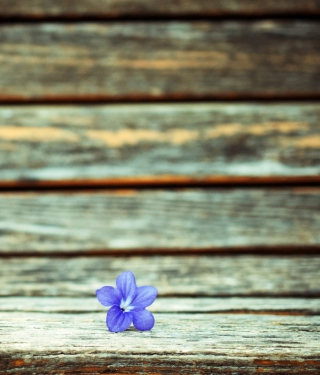 Little Blue Flower On Wooden Bench sfondi gratuiti per iPhone 6