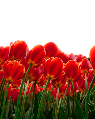 Red Tulips Wallpaper for iPhone 5S