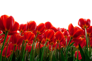 Red Tulips Background for Android, iPhone and iPad