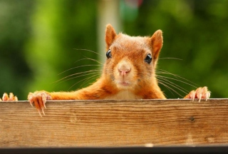 Curious Squirrel Background for Android, iPhone and iPad