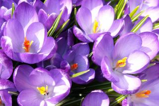 Crocuses Background for Android, iPhone and iPad