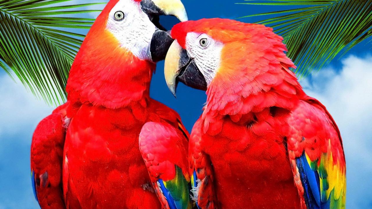 Поцелуй попугаев загрузить