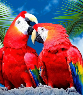Free Love Parrots Picture for iPhone 6 Plus