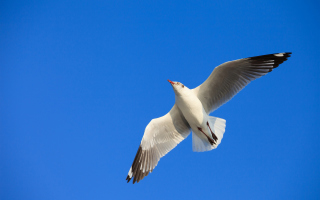 Seagull Flight In Blue Sky Wallpaper for Android, iPhone and iPad