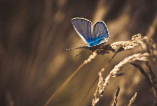 Blue Butterfly Macro sfondi gratuiti per cellulari Android, iPhone, iPad e desktop