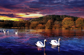 Swan Lake Wallpaper for Android, iPhone and iPad