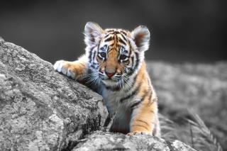 Cute Tiger Cub Picture for Android, iPhone and iPad