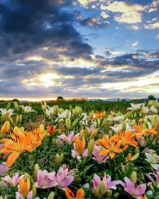 Free Lily field Picture for 240x320