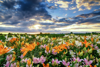 Lily field Wallpaper for Widescreen Desktop PC 1680x1050