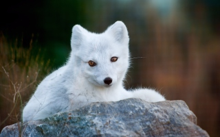 Arctic Fox Background for Android, iPhone and iPad
