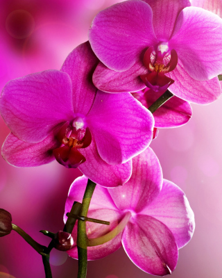 Phalaenopsis, Pink Orchids Background for HTC Titan
