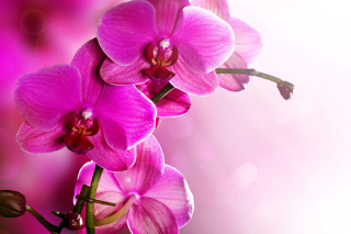 Phalaenopsis, Pink Orchids Background for Android, iPhone and iPad