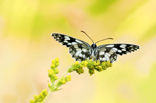 Free Yellow Butterfly Background Picture for Android, iPhone and iPad