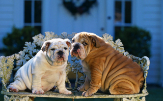 Shar Pei Dogs Background for 1200x1024