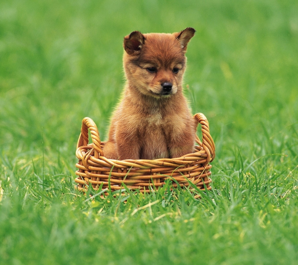 Puppy In Basket para Sony Ericsson XPERIA PLAY