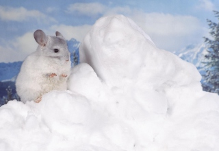 Free Chinchilla Picture for 220x176