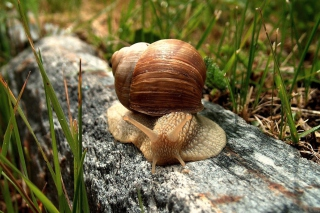 Snail On Stone Background for Android, iPhone and iPad