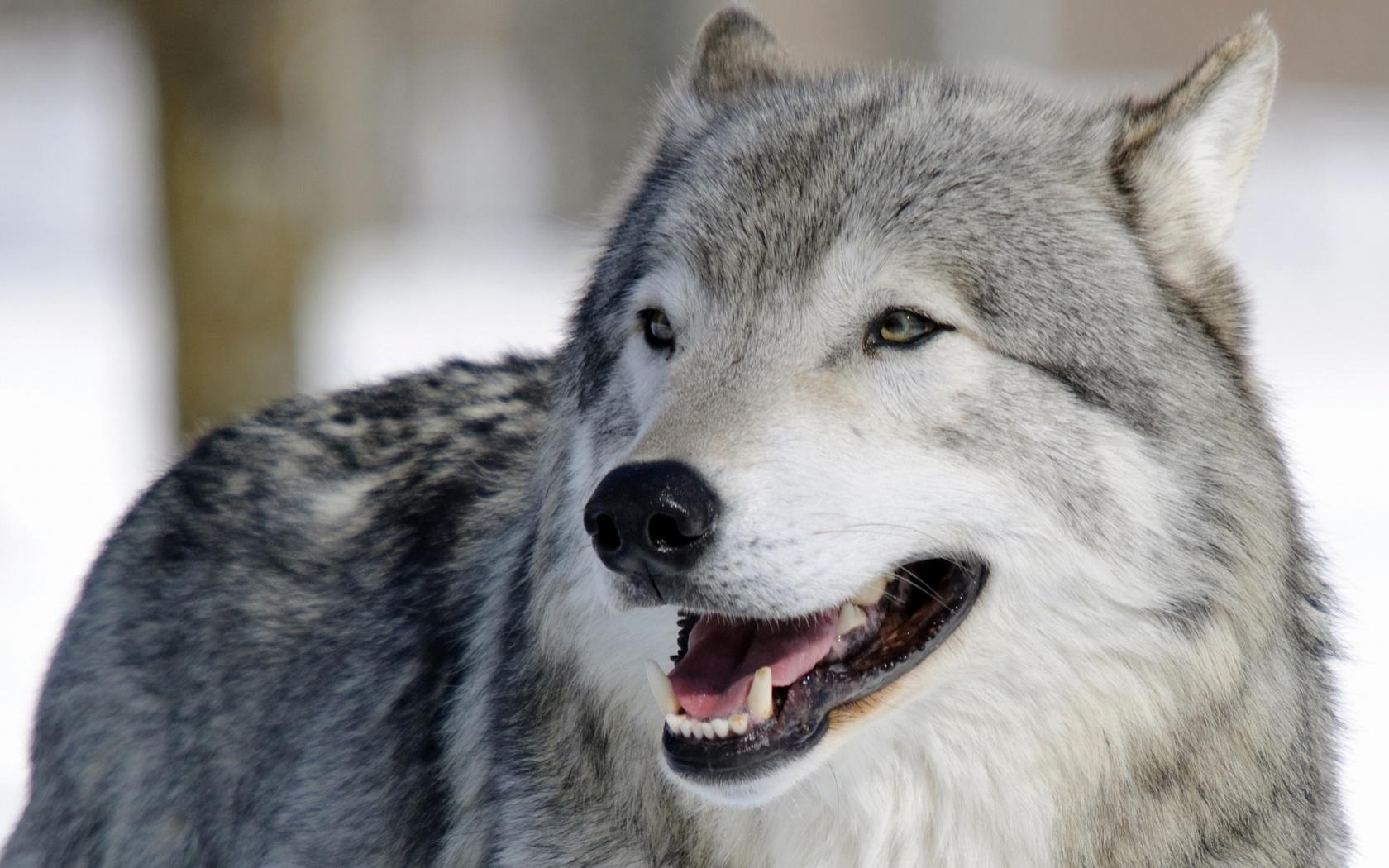 радостный волк картинки наносим средство для