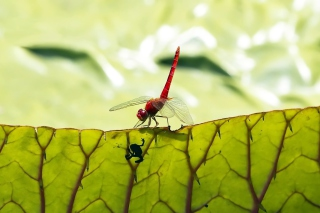 Dragonfly On Green Leaf Wallpaper for Android, iPhone and iPad