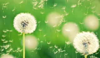Flying Dandelions sfondi gratuiti per cellulari Android, iPhone, iPad e desktop