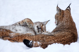 Lynx in Snow Background for Android, iPhone and iPad