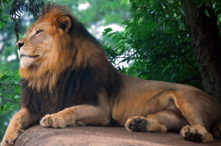 Lion King Of Zoo Background for Android, iPhone and iPad