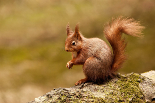 Free Squirrel Picture for LG Optimus U