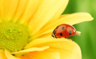 Yellow Sunflower And Red Ladybug Wallpaper for Android, iPhone and iPad