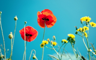 Free Poppies And Blue Sky Picture for Android, iPhone and iPad