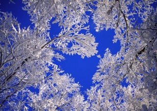 Frosted Trees In Colorado Picture for Android, iPhone and iPad