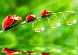 Morning Ladybugs Wallpaper for Android, iPhone and iPad