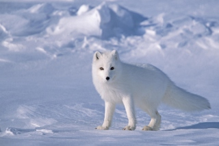 Картинка Arctic Fox On Sea Ice In Arctic Ocean на телефон Android 2880x1920