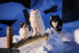 Free Winter Cats Picture for Android, iPhone and iPad