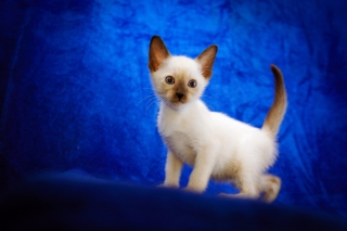 Free Cute Siamese Kitten Picture for Android, iPhone and iPad