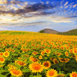 Sunflower Field Wallpaper for 208x208